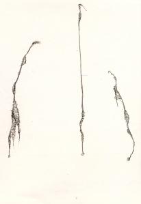 giraphes